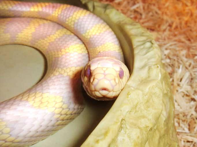 King Snake Photos - THEKINGSNAKE.co.uk - King Snake Photographs - Page ... Fergie