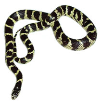 Californian King Snake