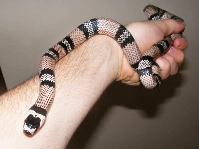 King Snake Photos - THEKINGSNAKE co uk - King Snake