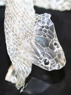 Shedded skin of a King Snake