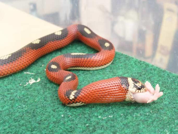 Pictures of Sinaloan Milk Snake - #rock-cafe